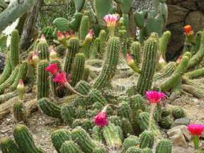 cactusflowers