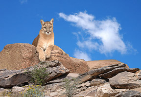 Cougar on guard in the Sonoran Desert with a clear blue sky above.