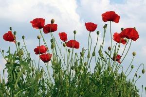 poppies-1439727_960_720