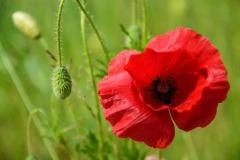 poppy-1409058_960_720